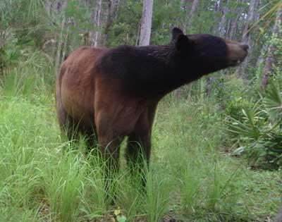 Big Cypress Swamp Black Bears
